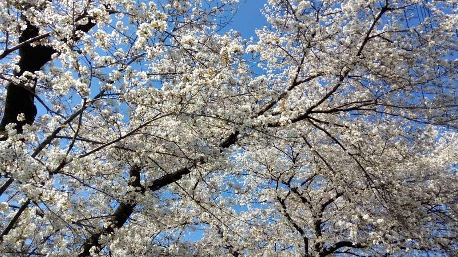 桜が散りそう