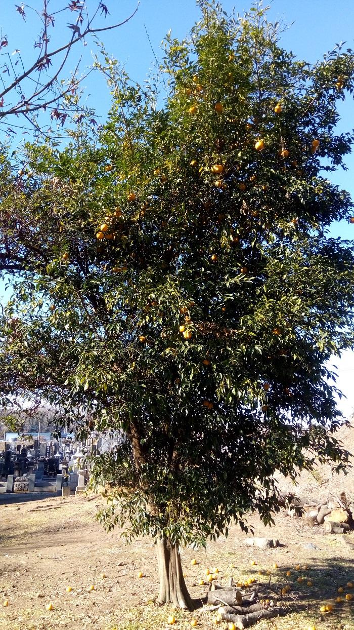 光福寺(東松山)にあった柚子の木