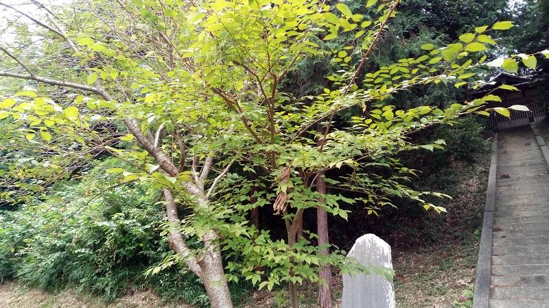 熊野神社にある愛子様、誕生記念で植えた樹木が立派に育っていました