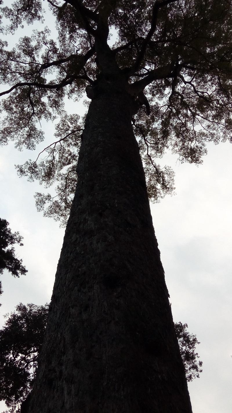 これが玉太岡神社の椋の木だ!