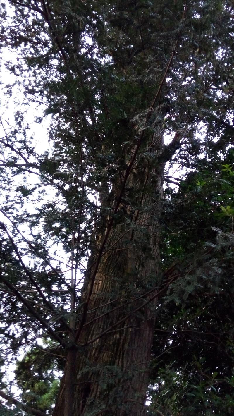 こちらも大きい、カヤの木