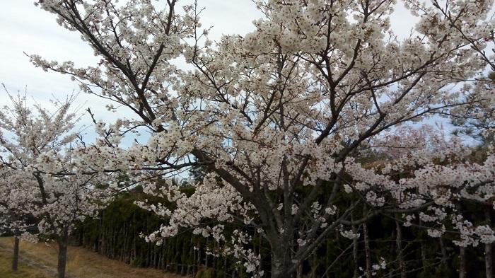 大沼公園にあった桜