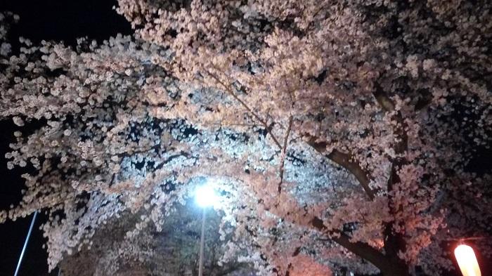 東松山夢灯路(下沼公園の桜)