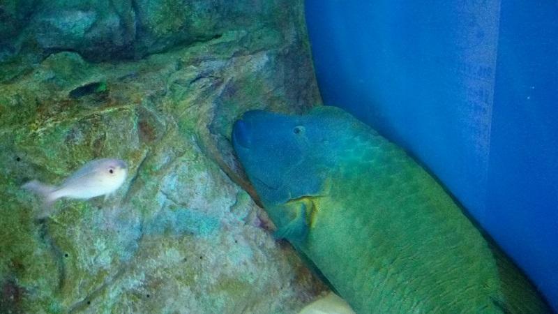おたる水族館、メガネモチノウオ