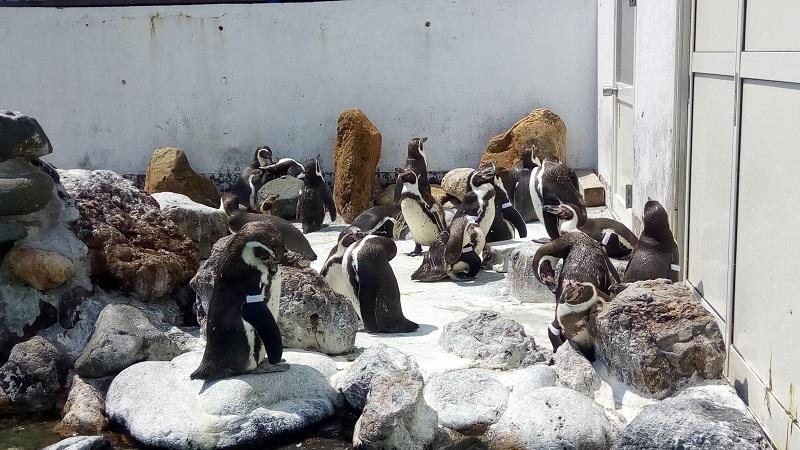 おたる水族館、ペンギン