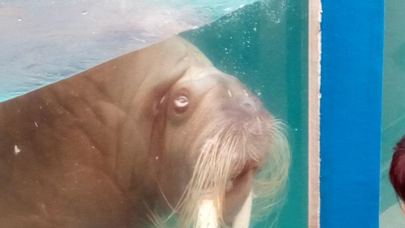 おたる水族館、セイウチ